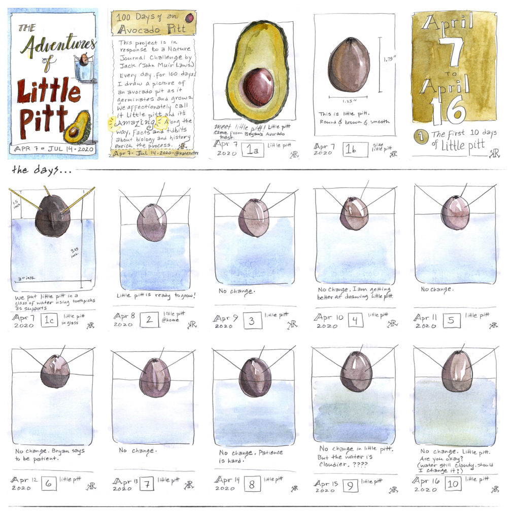 Sketches of the growth of an avocado pit: first 10 days.